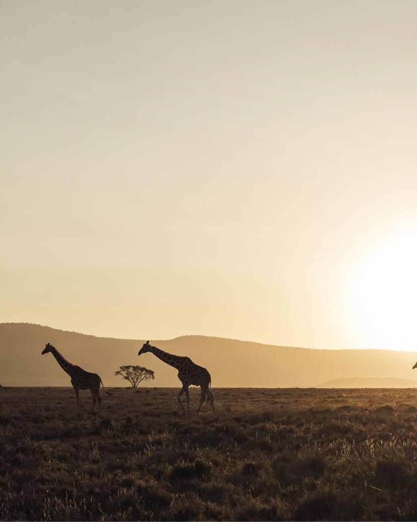 Reticulated giraffe in the evening sun