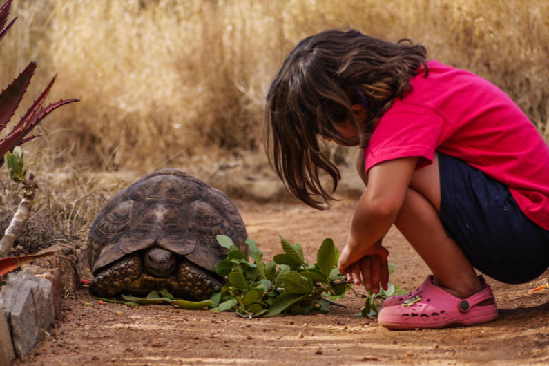 A child meeting a Leopard tortoise
