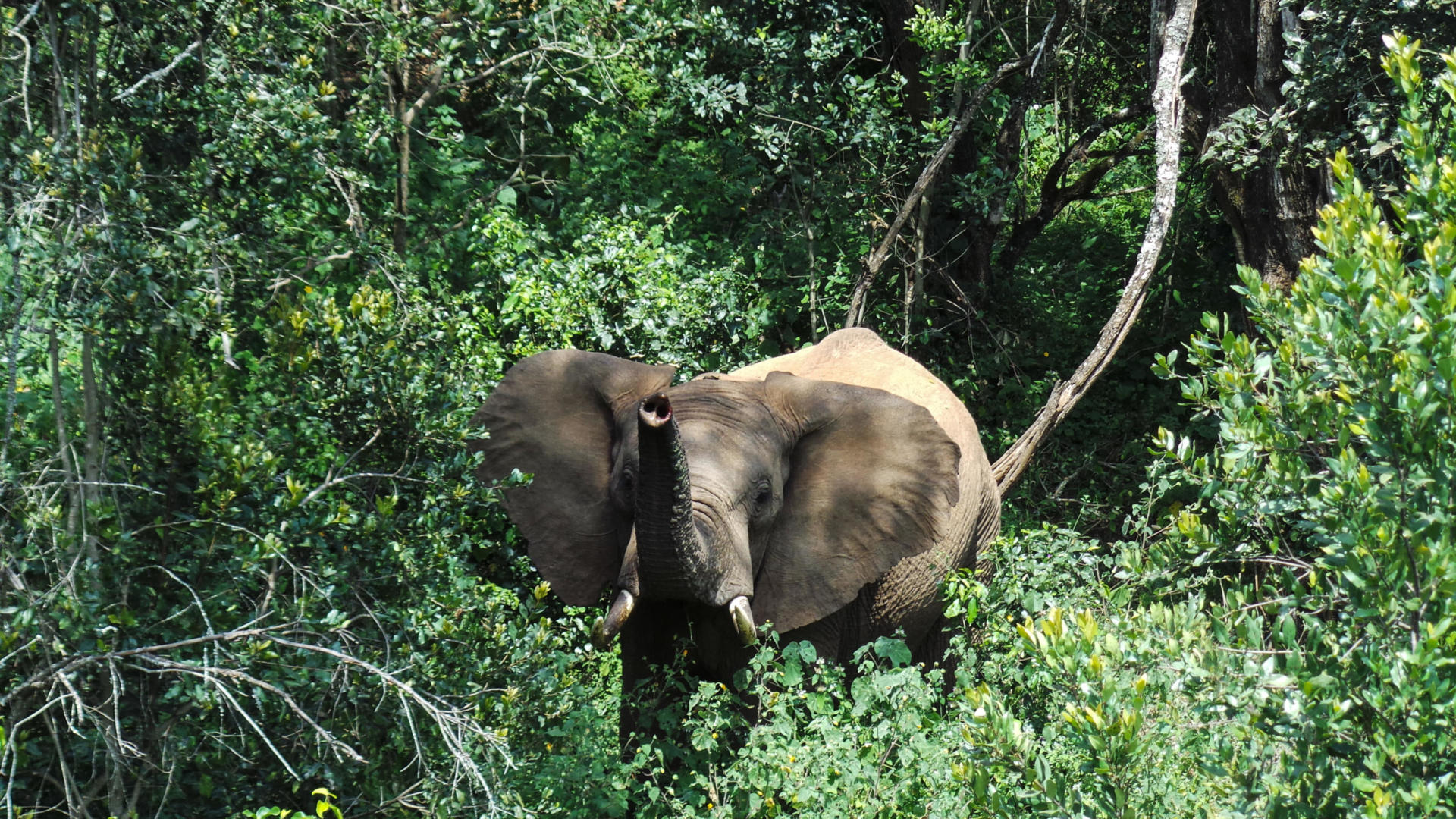 An elephant scenting the photographer on the canopy walkway