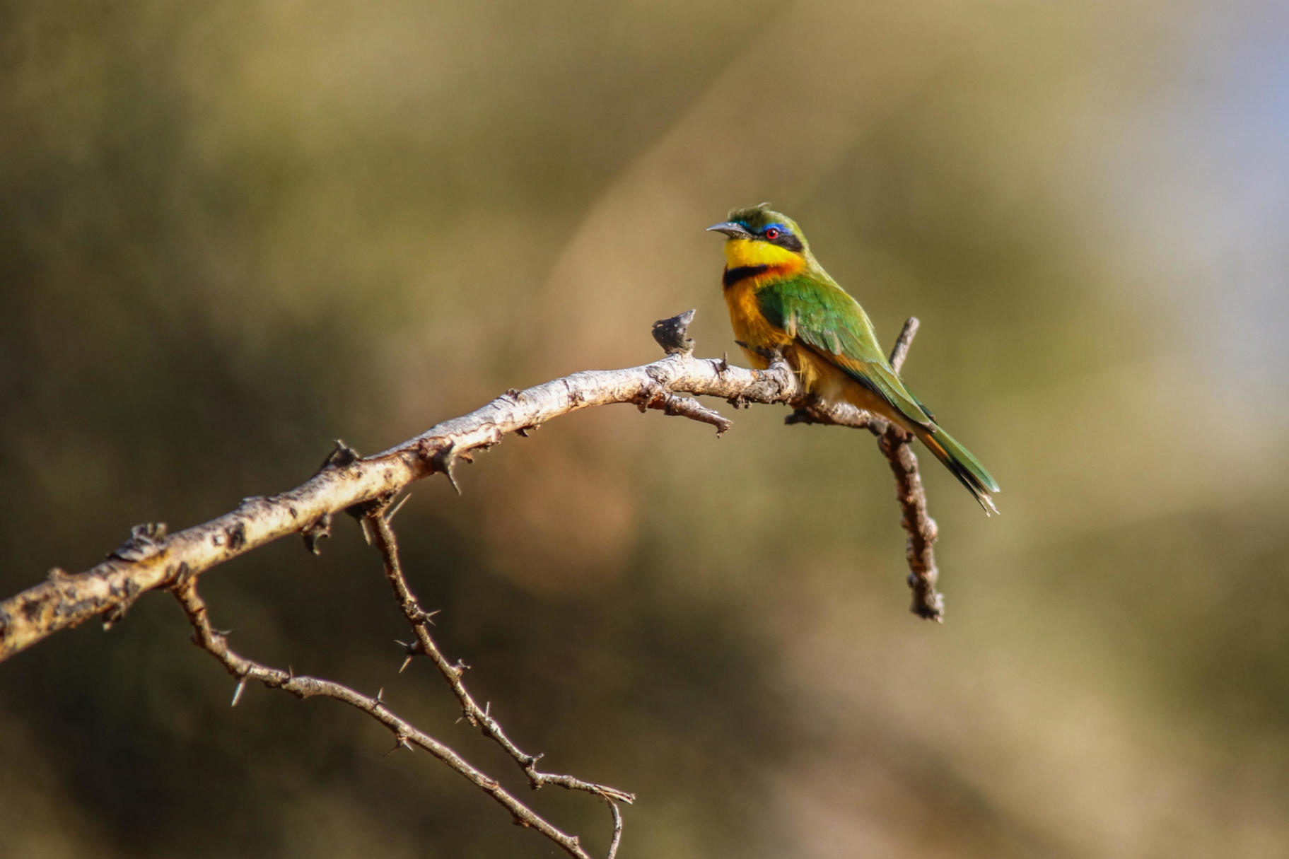 A little bee-eater, Lewa House