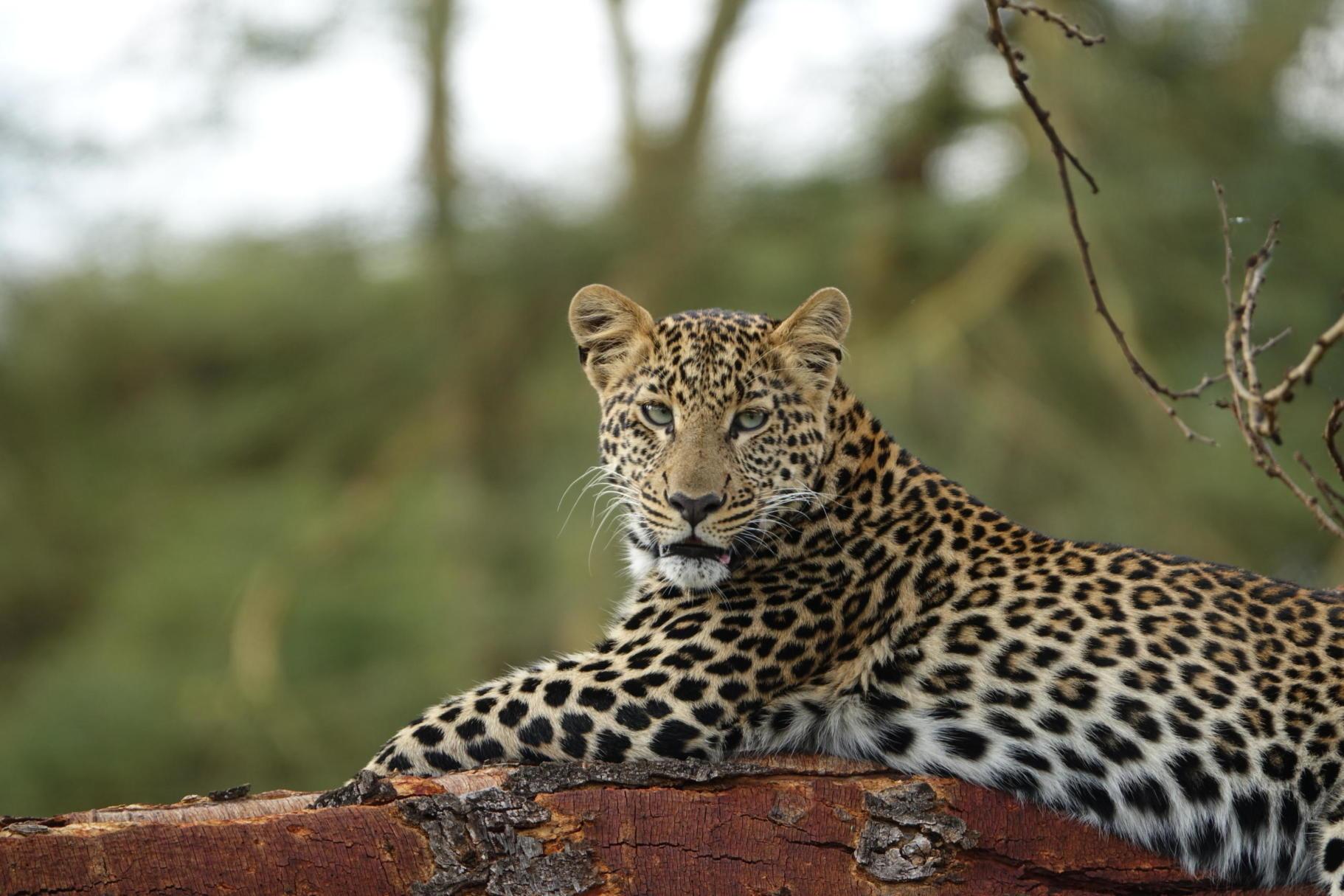 Leopard in Lewa Woodland