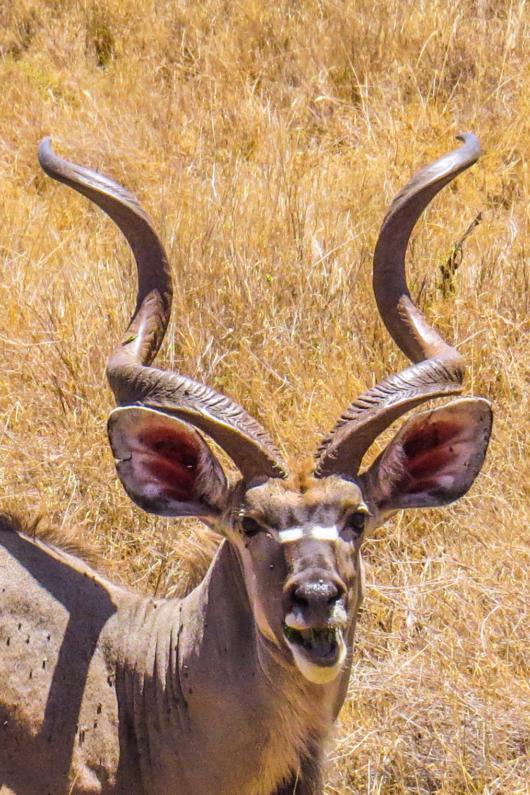 Greater Kudu on Lewa